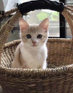 かご猫の写真・画像素材[4867793]