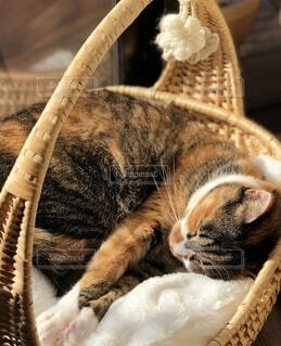 籠で寝る猫の写真・画像素材[4869915]
