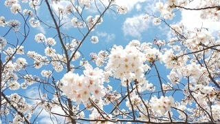青空に桜の写真・画像素材[4869192]