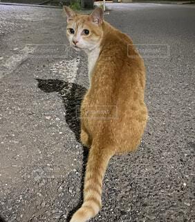 見返り美猫の図の写真・画像素材[4867791]