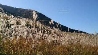 仙石原すすき草原の写真・画像素材[4867750]