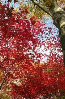 鮮やかな紅葉、空の絨毯の写真・画像素材[4867764]