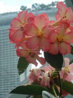 ピンクの花 シンガポールの写真・画像素材[4867776]