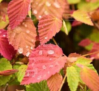 鮮やかな葉と水滴の写真・画像素材[4873813]