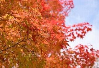 秋晴れ、紅葉の写真・画像素材[4874136]