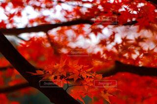 真っ赤な紅葉の写真・画像素材[4902498]