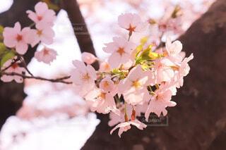 春色サクラ🌸の写真・画像素材[4902535]