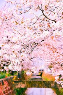 川と桜の写真・画像素材[4905279]