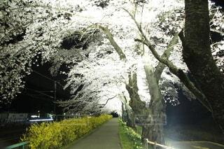 夜桜トンネルの写真・画像素材[4869815]