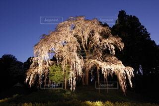 合戦場の滝桜の写真・画像素材[4870180]