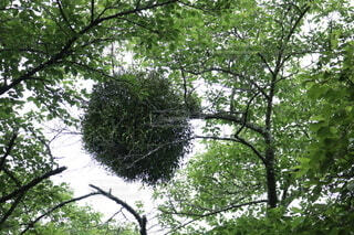 宿木の写真・画像素材[4869702]