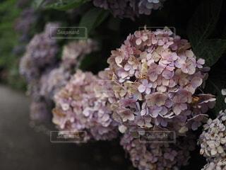 紫陽花の写真・画像素材[4874057]