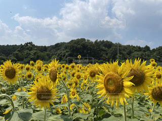 ひまわり畑の写真・画像素材[4872234]