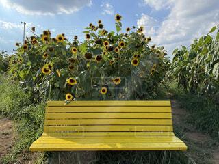 ひまわり畑とベンチの写真・画像素材[4872847]