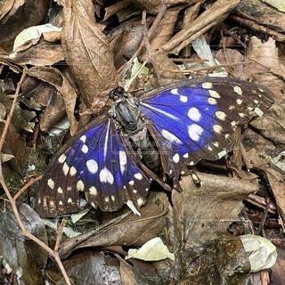 日本の国蝶オオムラサキの写真・画像素材[4874455]