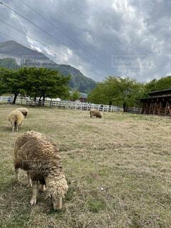 羊山公園の羊の写真・画像素材[4874638]