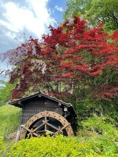 楓と藤と水車のコラボの写真・画像素材[4874635]