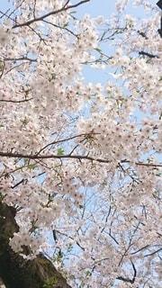 春を届けるさくらの写真・画像素材[4870406]