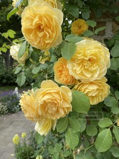 咲き誇る命美しく満開に咲き誇っていました!の写真・画像素材[4871184]