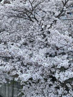 溢れ出す桜の写真・画像素材[4875244]