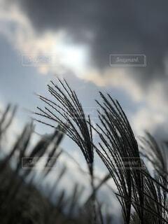 ススキの逆光の写真・画像素材[4876443]