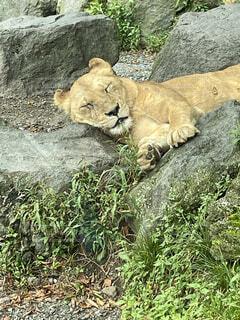 ライオンの上に横たわるホッキョクグマの写真・画像素材[4879198]