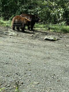 森の中を歩いている大きなヒグマの写真・画像素材[4879200]