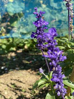 紫の花の写真・画像素材[4871951]