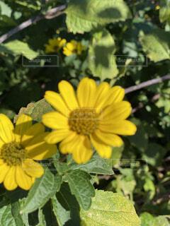 黄色い 花の写真・画像素材[4871952]