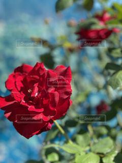 赤い花の写真・画像素材[4871950]
