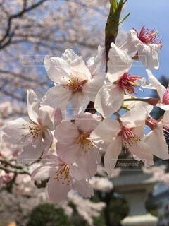桜の写真・画像素材[4873556]