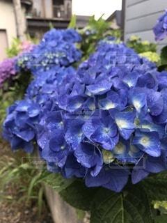 紫陽花の写真・画像素材[4872098]