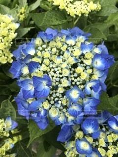 紫陽花の写真・画像素材[4872091]