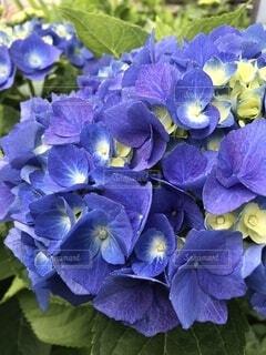 紫陽花の写真・画像素材[4872095]