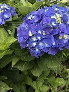 紫陽花の写真・画像素材[4872101]