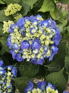 紫陽花の写真・画像素材[4872100]