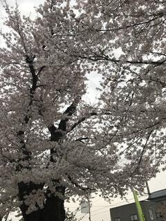 桜の写真・画像素材[4872105]