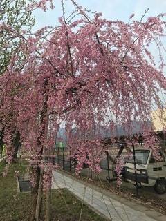 桜の写真・画像素材[4872111]