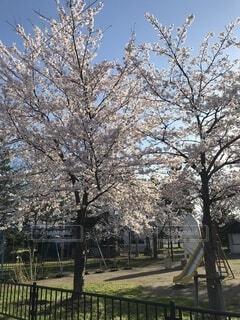 桜の写真・画像素材[4872109]