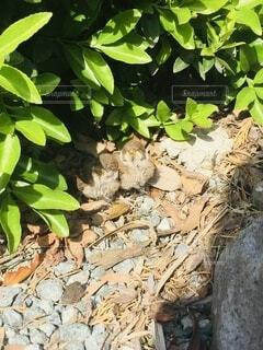 スズメの雛の写真・画像素材[4872124]