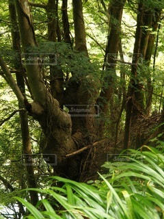 森の中の大きな木の写真・画像素材[4872562]