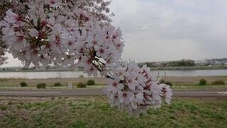 河原の桜の写真・画像素材[4872439]