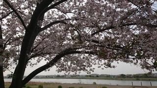 河原の桜の写真・画像素材[4872441]