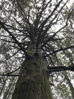 森の中の大きな木の写真・画像素材[4872596]