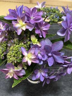 紫陽花の写真・画像素材[4874705]