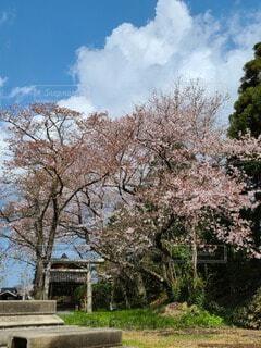 散る桜の写真・画像素材[4954867]