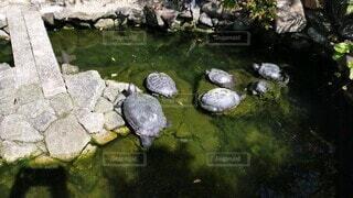 日向ぼっこをしている亀の写真・画像素材[4902921]