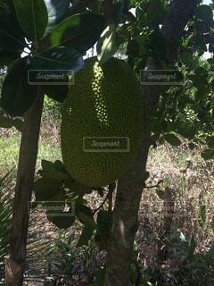 木からぶら下がっている果物の写真・画像素材[4874874]