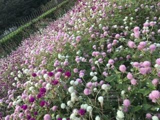大きな紫色の花が庭にあるの写真・画像素材[4874917]