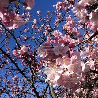 木の上のピンクの花のグループの写真・画像素材[4874945]